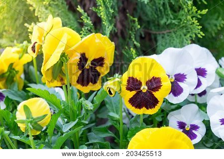 The garden with flowers Viola both yellow, white, purple