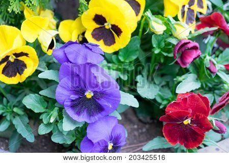 The garden with flowers Viola both yellow, red, purple