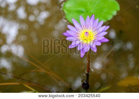 A purple lotus flower is blooming in the pool