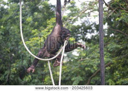 chimpanzee playing with rope in zoo jumping in air