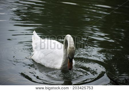 white swan swimming in the lake water drops from beak