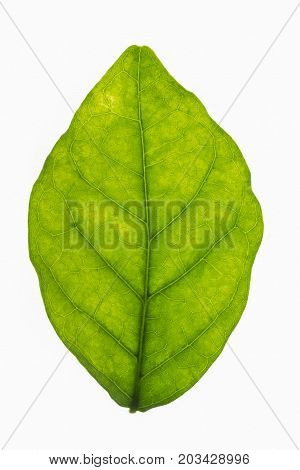 Backlit jasmine leaf isolated on a white background