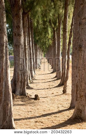 Row of pine tree with the walk way straight forward background