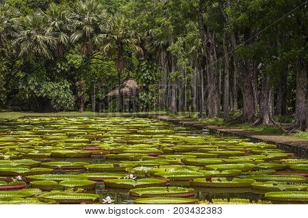 Giant water lily in Pamplemousse Botanical Garden. Island Mauritius . Victoria amazonica Victoria regia
