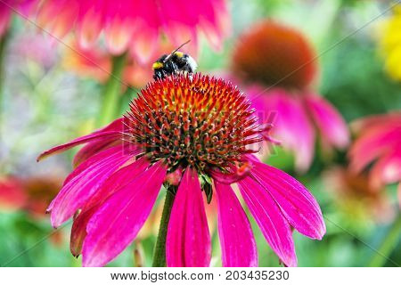 Bumble-bee pollinating red rudbeckia flowers in summer garden. Natural scene. Fauna and flora. Vibrant colors.