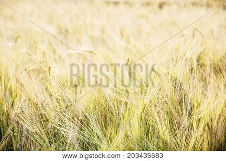 Yellow wheat field. Seasonal natural scene. Agricultural theme.