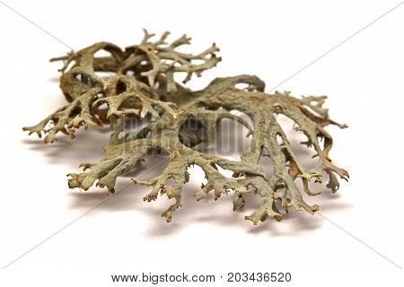 fruticose lichen isolated on a white background