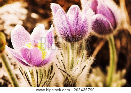 Dewy purple Pulsatilla slavica in spring nature. Beauty photo filter. Seasonal natural scene.