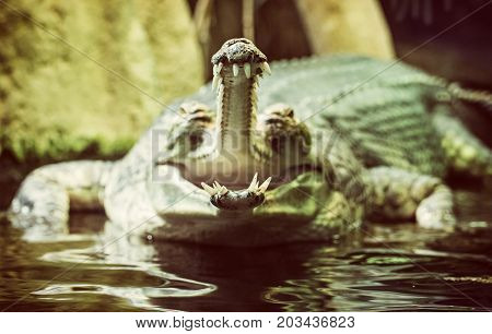 Gharial - Gavialis gangeticus with the horrible jaw. Detailed animal scene. Asian nature. Beauty photo filter.
