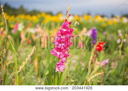 Gladioli on the field for picking, botany