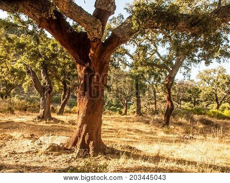 cork oaks in the natural park