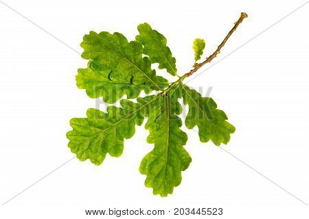Set of leaves: oak (isolated close up)