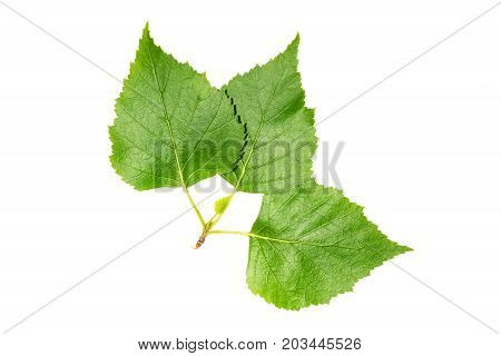 Set of leaves: birch (closeup isolated) background
