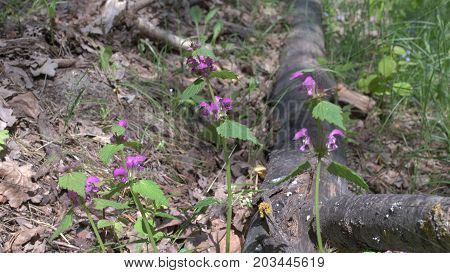Blooming Henbit Deadnettle Near The Black Charred Trunk Of A Birch. Closeup