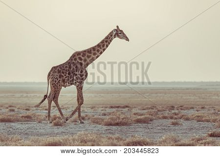 Giraffe Walking In The Bush On The Desert Pan At Sunset. Wildlife Safari In The Etosha National Park