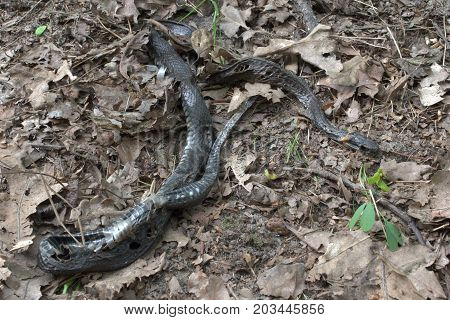 decomposed body of grass snake among the withered oak leaves
