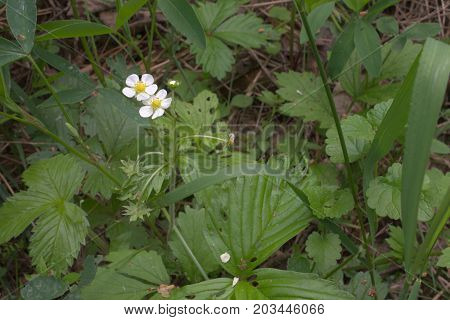 The White Flowers Of Wild Strawberries Before Fruit Bearing Plants