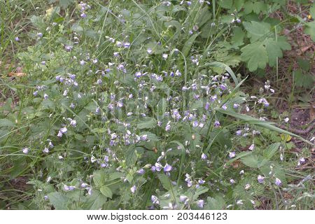 Continuous Thickets Of Emerging Lilac Campanula Persicifolia