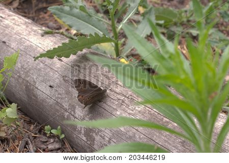 Northern Wall Brown Butterfly Opens For Flying Wings, Sitting On Tree Trunk