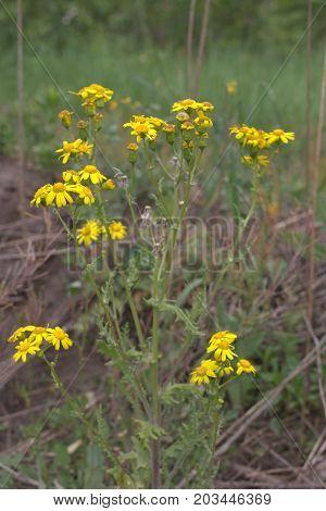 Golden Marguerite Plant. Flowers Of Bright Sun