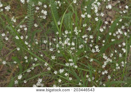 Live Pattern Filled With White Flowers Of Greater Stitchwort On The Meadow