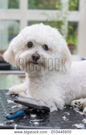 Cool white Bolognese dog is lying on the grooming table. Grooming tools are lying in front of him. The dog is looking at the camera. Vertically.