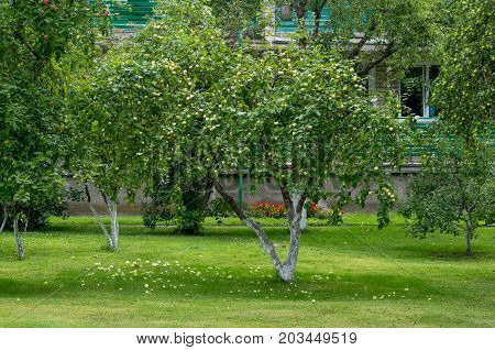 Organic Green apples ready to pick on tree branches.