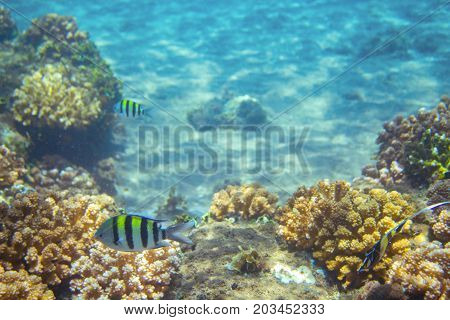 Striped sergeant fish in coral reef. Tropical seashore inhabitant underwater photo. Coral reef animal. Warm sea nature. Colorful sea fish and corals. Undersea view of marine life. Coral reef landscape