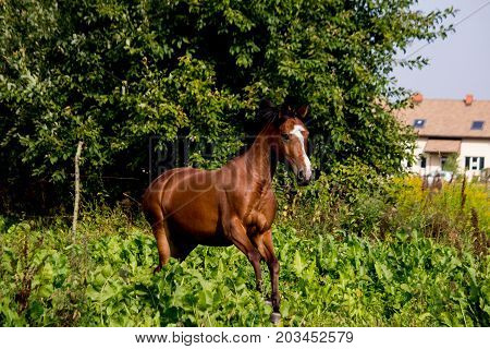 Bay Arabian Mare Galloping At The Pasture