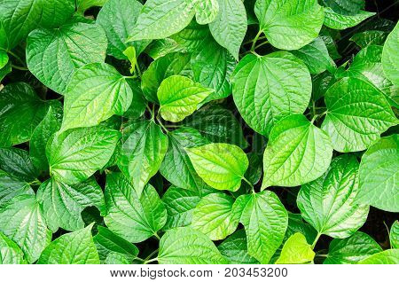 Green leaves texture background,Piper sarmentosum plant,nature background