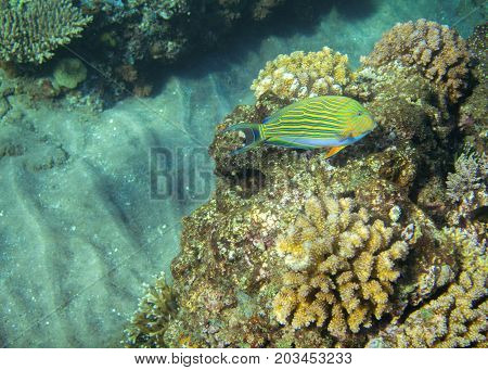 Yellow surgeonfish in coral reef. Tropical seashore inhabitants underwater photo. Coral reef animal. Warm sea nature. Colorful sea fish and corals. Undersea view of marine life. Coral reef landscape