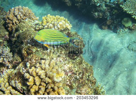 Striped surgeon fish in coral reef. Tropical seashore inhabitants underwater photo. Coral reef animal. Warm sea nature. Colorful sea fish and corals. Undersea view of marine life. Coral reef landscape