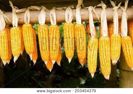 Dried corn cob hanging on bamboo,sweetcorn harvest