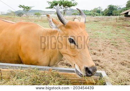 Brown cow eating hay in a farm,livestock