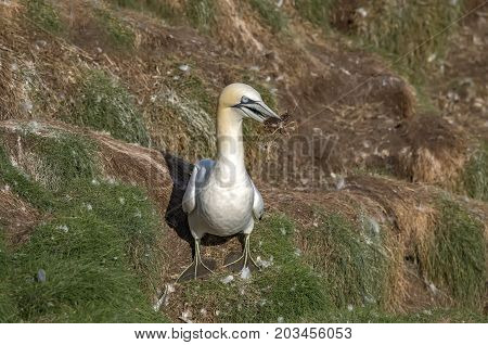 Gannet, On A Cliff, Close Up, With Nesting Material In It Beak