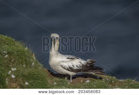 Gannet, Juvenile, Perched On The Edge Of A Cliff, Close Up