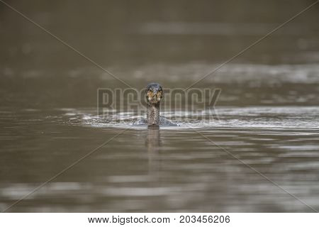 Cormorant swimming on a pond, close up