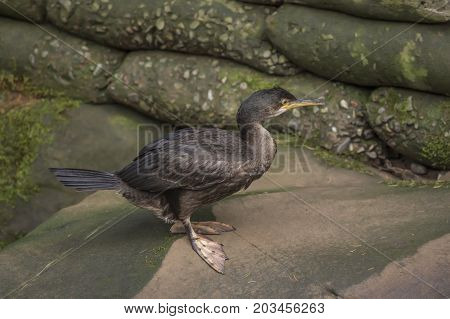 Cormorant Standing On A Rock, Close Up