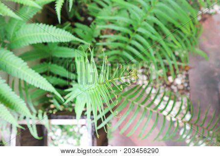 fern plant in the garden green leaf