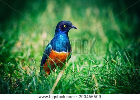 The Superb Starling (Lamprotornis superbus) also known as Spreo superbus is a common bird in East Africa.