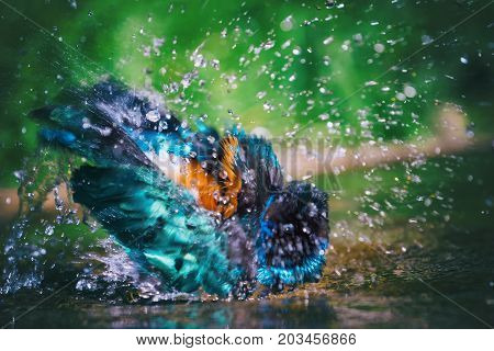 The Superb Starling (Lamprotornis superbus) also known as Spreo superbus taking a bath.