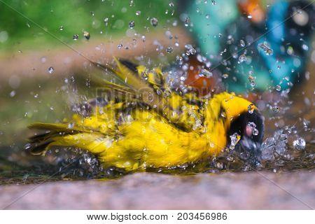 Village weaver (Ploceus cucullatus) taking a bath.