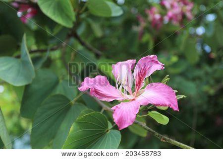 Pink Bauhinia purpurea flower bloom in the garden.