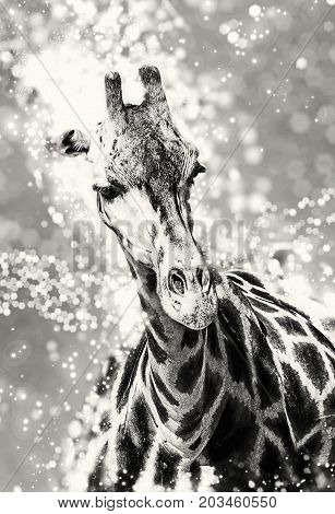 Rothschild's giraffe with shimmering background. Beauty in african nature. Black and white photo.
