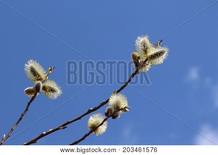 Fluffy buds on a branch / Branches on a blue sky background