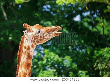 Close-up of a giraffe in front of some green trees looking sideways with mouth open as if to saying something. With space for text.