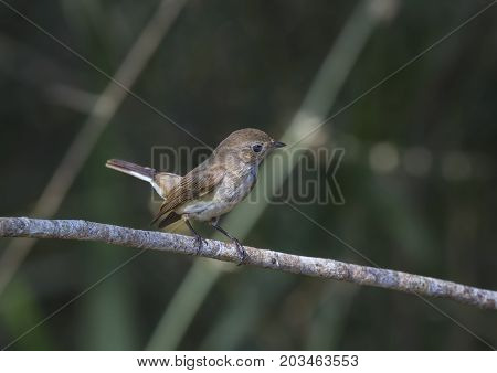 Bird (Asian brown flycatcher Muscicapa dauurica Siamensis) grey-brown color perched on a tree in the garden