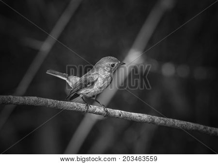 beatiful asian brown flycatcher(Muscicapa dauurica)black and white picture
