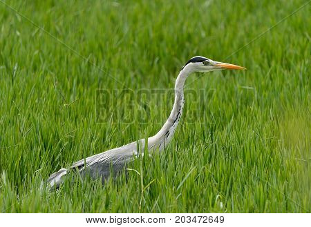 Grey heron bird hiding in green grass, India