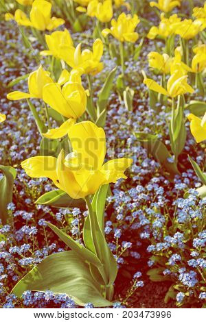 Yellow tulips and forget-me-not flowers planted in the park. Springtime scene. Retro photo filter.